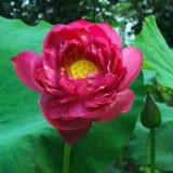 新品荷花碗莲种藕 紫重阳 庭院 观叶植物 池塘绿植盆栽观赏花卉