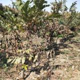 板栗树价格 江苏基地板栗树批发 低价销售