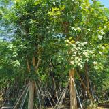 20公分菩提树价格 广东菩提榕树价格及图片