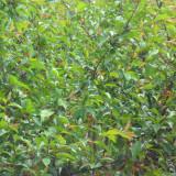 垂丝海棠树种植基地 垂丝海棠树价格行情