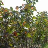 红叶杨苗市场价格 中华红叶杨多少钱一棵