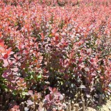 红叶小檗苗价格 红叶小檗基地出售