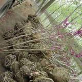丛生紫荆价格 丛生紫荆苗木工程绿化苗批发