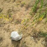 黄老虎苗价格 黄老虎绿化苗种植基地直销