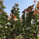 红叶杨扦插枝条 周口红叶杨基地
