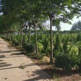 10公分的栾树多少钱一棵 10公分栾树价格
