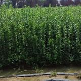 北海道黄杨价格 高1.2米北海道黄杨基地批发