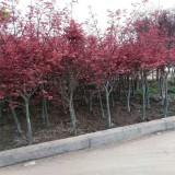 红枫树批发价格  江苏红枫树苗圃基地报价