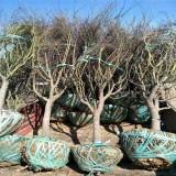 哪里有卖红枫树  红枫树基地批发供应