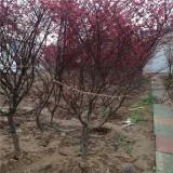 求购红枫树  红枫树多少钱一棵