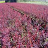 40公分红叶小檗苗批发   红叶小檗销售价格