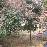 红栌树苗一棵多少钱   江苏红栌苗木供应