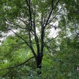 35公分香樟树价格 浙江香樟树苗价格
