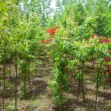 青枫树苗价格 2-3公分青枫树苗市场行情