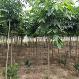七叶树价格 七叶树基地供应批发