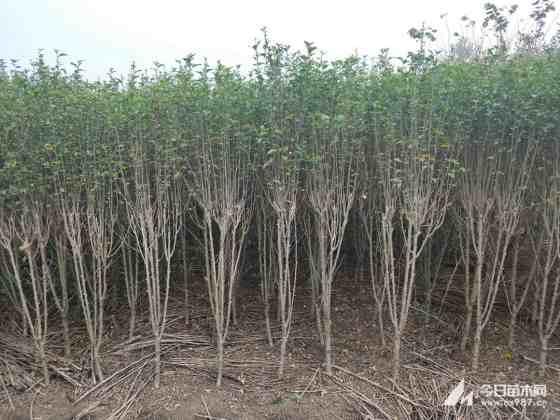 江苏木槿批发 行情 木槿树苗价格
