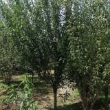 红梅树苗价格表 基地批发5-6-7公分红梅树价格