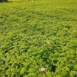 四季玫瑰苗哪里有卖的 四季玫瑰苗小苗价格