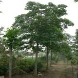 七叶树价格 15公分七叶树批发
