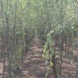 2.5公分垂柳树价格 江苏垂柳苗批发价格