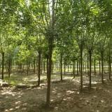 15公分白蜡树价格 15公分白蜡多少钱一棵
