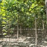 米径10公分白蜡树苗价格 河南白蜡树苗基地批发