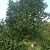 12公分香泡树价格 湖南香泡树产地供应报价
