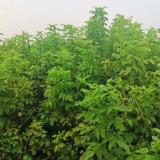 5公分10公分15公分复叶槭价格  复叶槭批发供应
