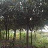 8公分枇杷树价格 基地10公分枇杷树批发报价