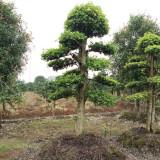 造型罗木石楠价格 湖南基地供应30公分造型罗木石楠