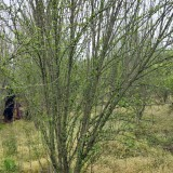 丛生木槿苗多少钱一棵 2米冠幅丛生木槿价格