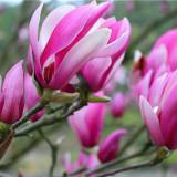 紫玉兰产地批发多少钱 湖南8-10-12公分紫玉兰市场报价