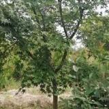 江苏鸡爪槭基地 批发 8-12公分鸡爪槭树价格