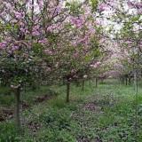 6公分垂丝海棠树价格 江苏垂丝海棠批发基地