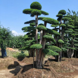 20公分造型小叶女贞桩价格 基地批发造型小叶女贞树