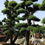 哪里有卖造型榆树 20公分造型榆树价格 便宜
