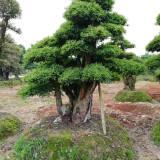 长沙80公分造型罗木石楠报价 基地批发造型罗木石楠