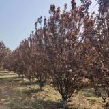 丛生紫叶李价格表 3米3.5米丛生紫叶李价格