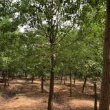 乌桕树苗多少钱一棵 8公分乌桕树价格