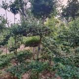 小叶女贞造型树价格表 5公分小叶女贞造型树报价
