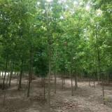 6公分青叶复叶槭价格 江苏青叶复叶槭基地批发