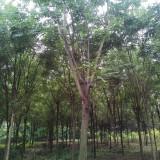 15公分栾树多少钱一棵 栾树批发基地 低价供应