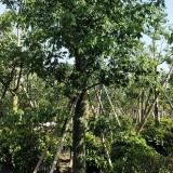 18公分美人树多少钱一棵 美人树批发