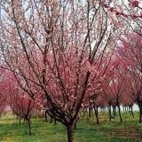 8公分原生红梅价格 江苏原生红梅树批发价格