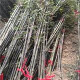 紫竹小苗多少钱一棵  紫竹苗木基地批发