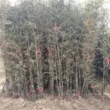 紫竹苗木基地批发  紫竹小苗多少钱一棵