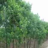 乌桕树多少钱 批发 乌桕树苗价格