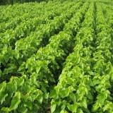 桑树苗价格多少钱一株 沭阳桑树苗 产地直销