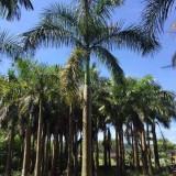大王椰子树多少钱一颗 20公分大王椰子价格