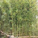刚竹哪里有卖 2公分刚竹多少钱一棵